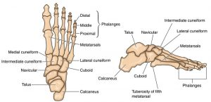 Commonly injured structures of the foot from running #6 Bones.